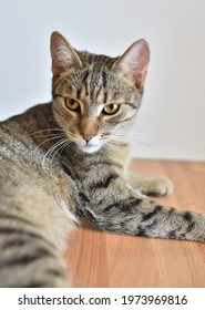 Beautiful domestic cat portrait close up
