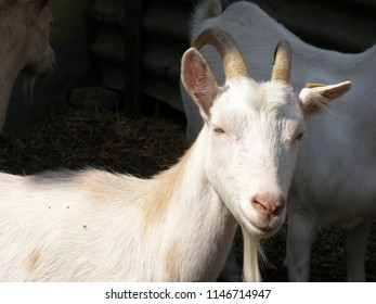 Beautiful Domestic Goat