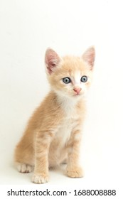 A Beautiful  Domestic Orange cat kitten   funny positions. Animal portrait isolated on white background.