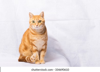 A Beautiful Domestic Orange Striped cat. Animal portrait.