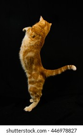 A Beautiful Domestic Orange Striped cat Jumping and playing with a toy mouse, back legs on the ground. Animal portrait against Black background