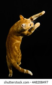 A Beautiful Domestic Orange Striped cat Jumping and playing with a toy mouse, back legs on the ground in strange, weird, funny positions. Animal portrait against Black background
