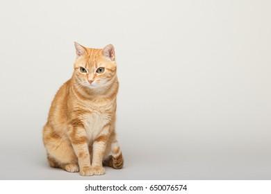 A Beautiful Domestic Orange Striped cat. Animal portrait in white background.