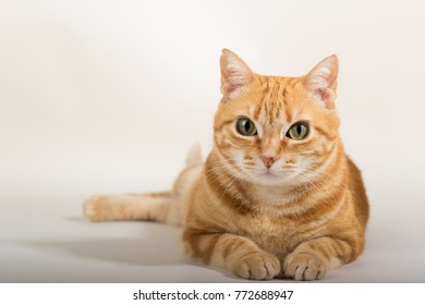A Beautiful Domestic Orange Striped cat in strange, weird, funny positions. Animal portrait against white background.