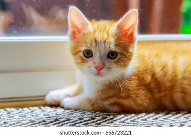 Beautiful domesticated yellowish kittenblack cat waiting by the door