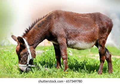 Beautiful donkey stands in a field, eats grass