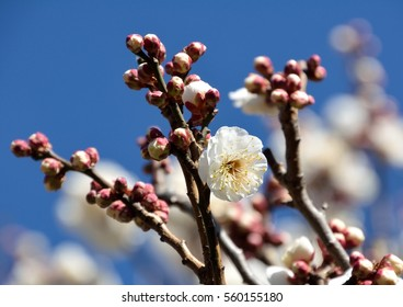 Beautiful double flowered plum blossom with blue sky in japanese early spring