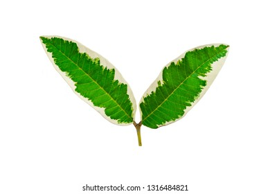 Beautiful double leaf isolated on white background. Fantasy variegated leaf in green and white color.