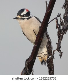 A beautiful downy woodpecker (Picoides pubescens) perches on a branch on a foggy morning in Tennessee.