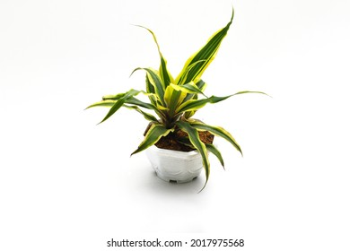 Beautiful dracaena plant on white pot isolated on white background. Variegated houseplant for home decor stock images.