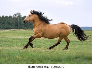 Beautiful draft horse running gallop.
