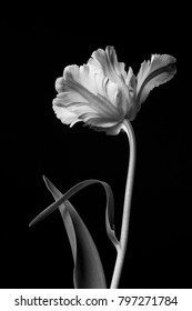 Beautiful dramatic monochrome blooming parrot tulip against a black background.