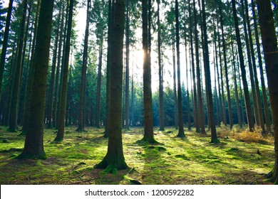Beautiful dramatic sun rays through the autumn pine trees in the forest park outdoor, beauty landscape in autumn season at good sunshine day at Belgium country. Nature and travel lifestyle concept.