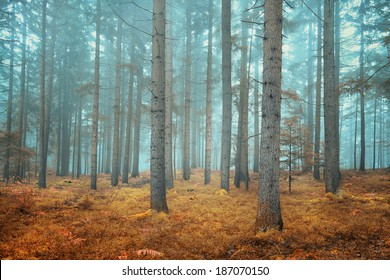 Beautiful dreamy conifer forest. Color filter effect used.