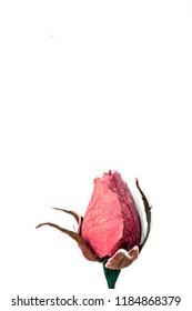 Beautiful Dried Rose and Petals on White Background