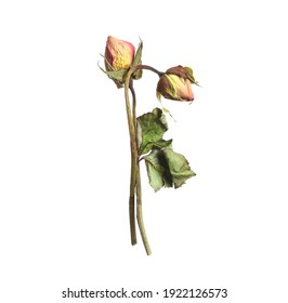 Beautiful dry rose flowers on white background