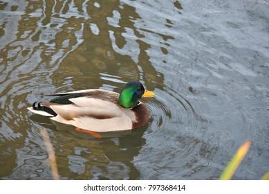 the beautiful duck
