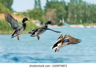 beautiful duck at Balaton