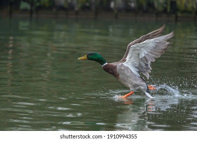 beautiful duck running on water