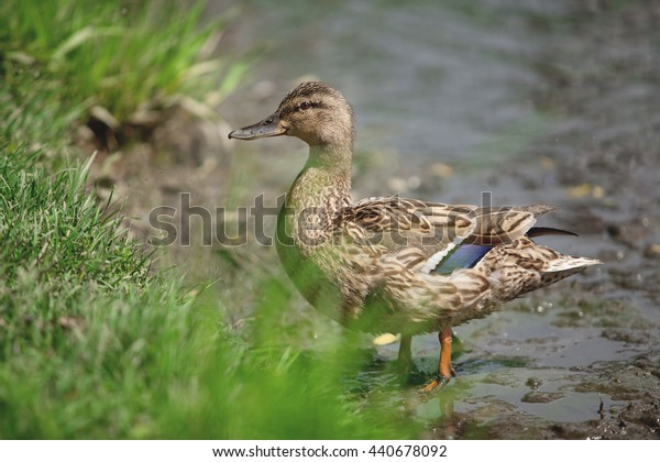 beautiful duck sitting on the river bank in the grass