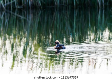 Beautiful duck Slavonian Grebe, Podiceps Auritus, an early morning in a pond on the swedish island Oland