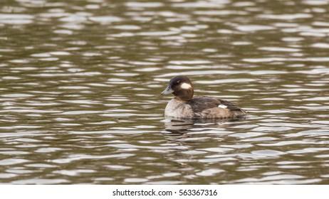 Beautiful duck swimming in a pond. Nisqually wildlife refuge, Washington, USA