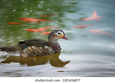 Beautiful duck swimming in water and red fish