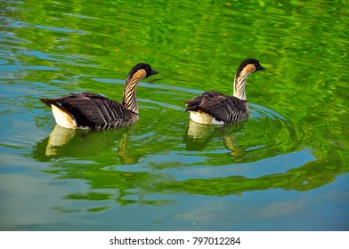 beautiful ducks in the pond