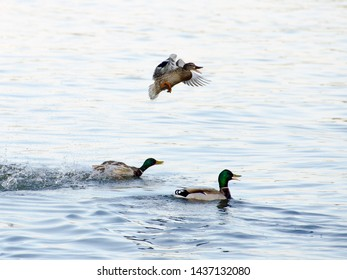 Beautiful ducks and their game in the river  ( Selective focus and smail depth of field )