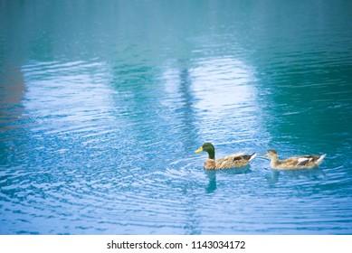 Beautiful ducks in their natural environment