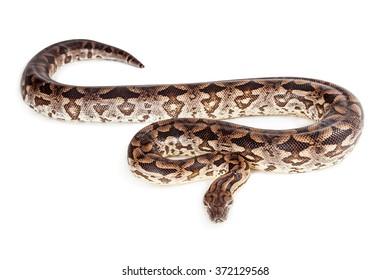 Beautiful Dumeril's boa snake laying on a white studio background