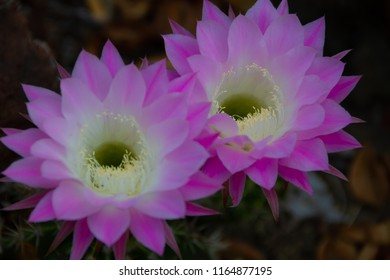 Beautiful duo of pink and white large blooming flowers on a cactus in a cactus garden.