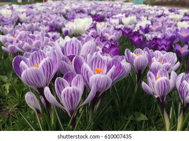 Beautiful Dutch crocuses are open in the morning of the first spring day