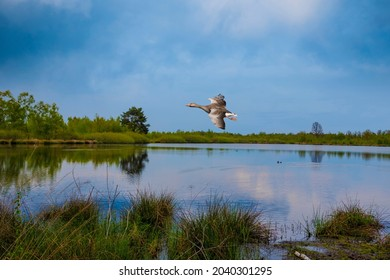 Beautiful dutch landscape with small lake and flying duck in the summer. Maasduinen - a picturesque place in Noord Limburg, Netherlands