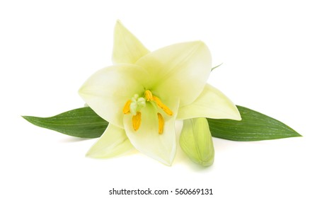 beautiful easter lily flower isolated on white background