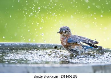 Beautiful Eastern Bluebird Splashing in Birdbath in Louisiana in April