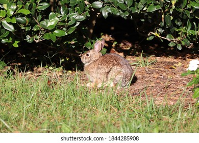 Beautiful Eastern Cottontail just popped out of the hedgerow for a bite to eat