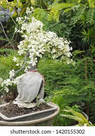 beautiful Ebony bonsai rare white leaves in flower pot decorate in green garden.