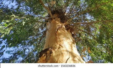 beautiful ecaliptus tree near Galilee sea