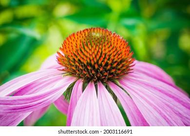 schöne Echinacea im Garten