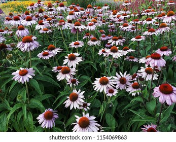 Beautiful Echinacea Purpurea flowers  (Ruby Star Coneflower)