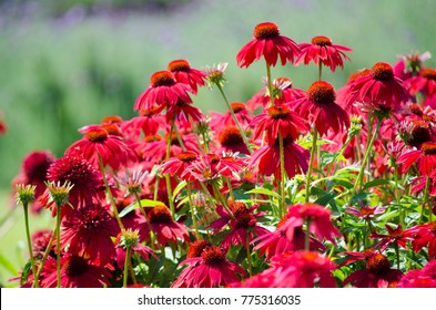 "A beautiful echinacea ""Sombrero Salsa red"" flower in a spring season at a botanical garden."