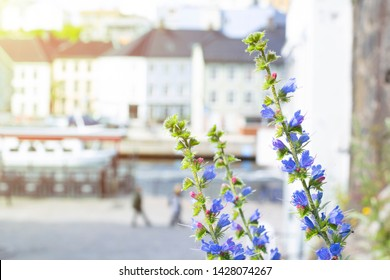 Beautiful Echium vulgare flower on the side of the road with the blur background of the building, sea, boat and peoples walking in the Arendal city, Norway under the nice sun light.