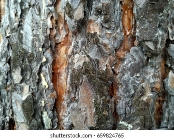 Beautiful eco texture of pine bark. Russian nature.