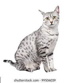 A beautiful Egyptian Mau Cat Looks Directly at Camera, sitting sideways.  One ear is titled backwards