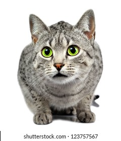 A beautiful Egyptian Mau silver spotted cat with a shallow depth of field.  Eyes are in focus