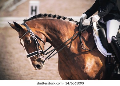 A beautiful elegant Bay horse bends its neck while performing tasks in dressage competitions, while the rider in the saddle pulls it by the bridle.