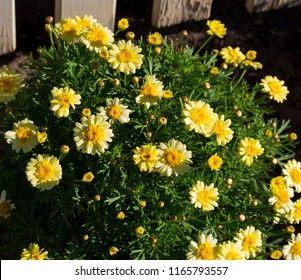 Beautiful  elegant decorative  semi-double buttercup yellow  blooms of marguerite daisy species in flower  in winter add the charm and simplicity of a cottage garden to the suburban street scape.