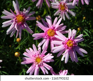 Beautiful  elegant decorative  semi-double  candy pink   blooms of marguerite daisy species in flower  in spring  add the charm and simplicity of a cottage garden to the suburban street scape.