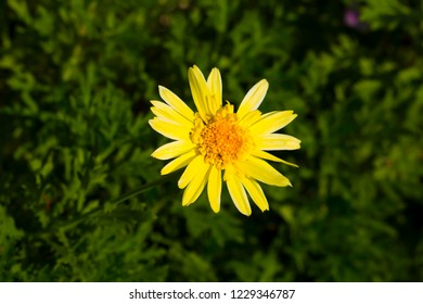 Beautiful  elegant decorative  single buttercup yellow  blooms of marguerite daisy species in flower  in winter add the charm and simplicity of a cottage garden to the suburban street scape.